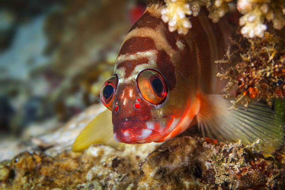 Close-Up Of A Six Banded Grouper (Epinephelus Awoara), Anda, Bohol, Central Visayas, Philippines