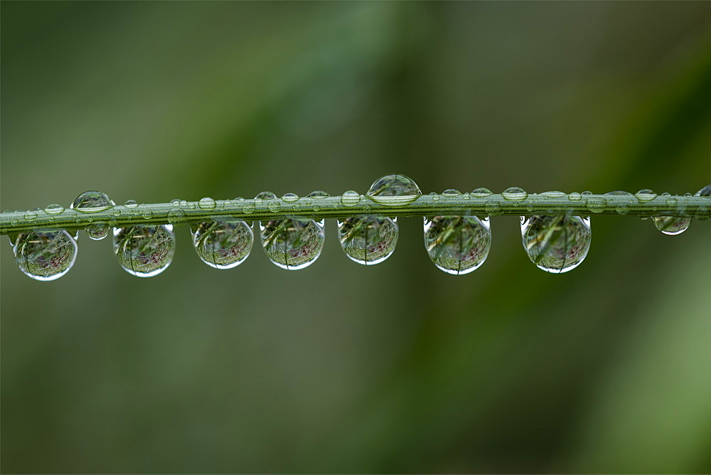 Rain Drops Cling To A Grass Stem, Astoria, Oregon, United States Of America