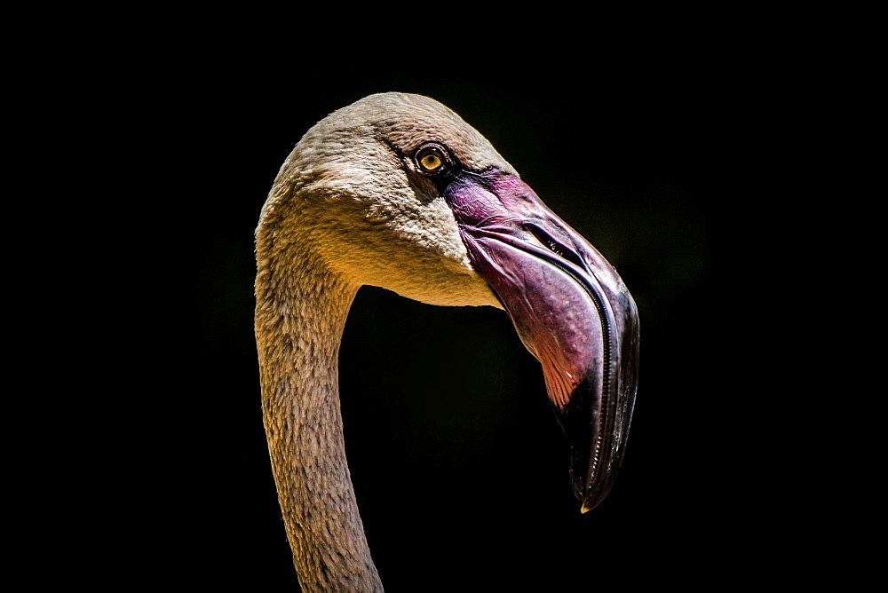 Close-Up Of Chilean Flamingo (Phoenicopterus Chilensis) Head Against A Black Background, Iguazu Falls, Parana, Brazil