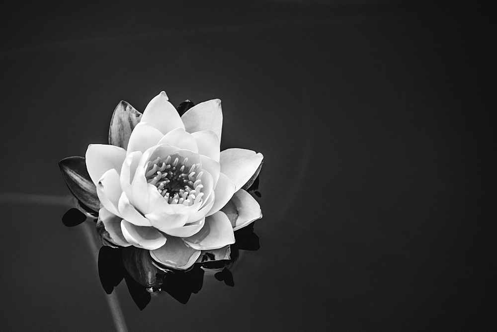 A Water Lily (Nymphaeaceae) In A Pond, Victoria, British Columbia, Canada