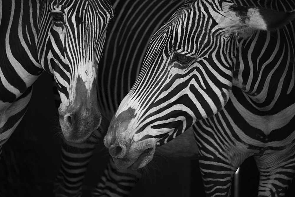 Close-Up Of Two Grevy's Zebra (Equus Grevyi) Side-By-Side, Cabarceno, Cantabria, Spain