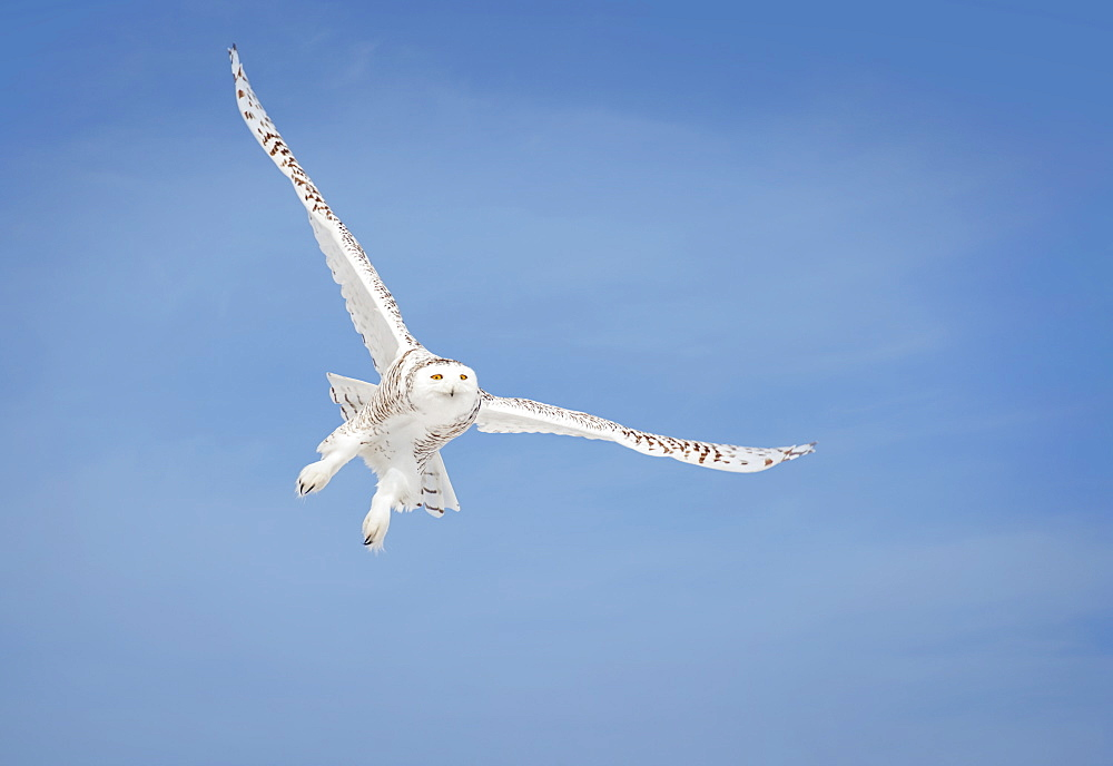 Snowy Owl (Bubo Scandiacus) In Flight, Saulte Saint Marie, Ontario, Canada