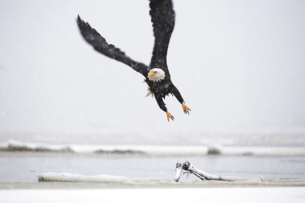 A Bald Eagle (Haliaeetus Leucocephalus) Flys Over Driftwood On A Beach, Alaska, United States Of America