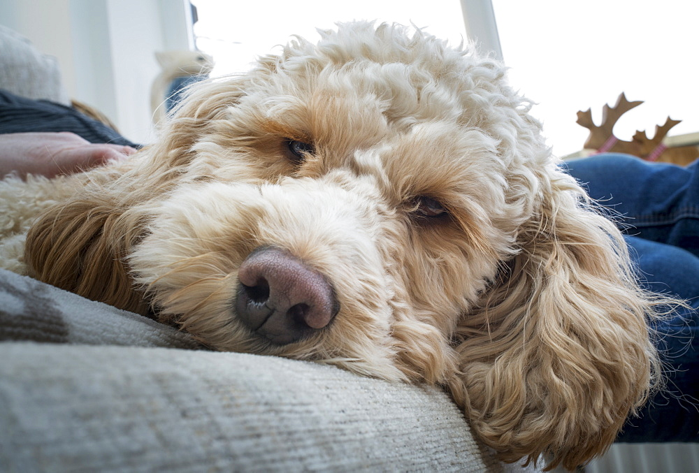 Close-Up Of The Face Of A Cockapoo Looking Into The Camera As It Lays On A Bed With It's Owner, South Shields, Tyne And Wear, England