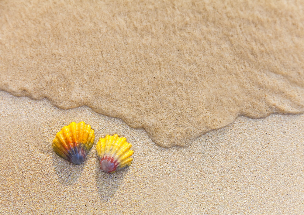 A Set Of Two Rare Hawaiian Sunrise Scallop Seashells, Also Known As Pecten Langfordi, In The Sand At Lanikai Beach, Honolulu, Oahu, Hawaii, United States Of America