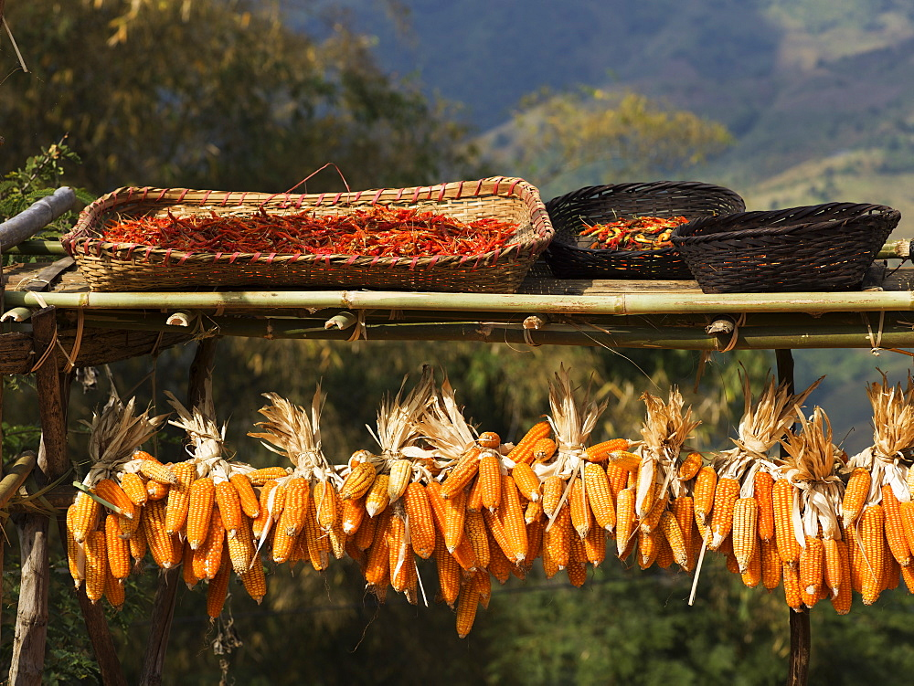 Ears Of Corn Hanging On A Rack To Dry, Tambon Mae Salong Nok, Chang Wat Chiang Rai, Thailand