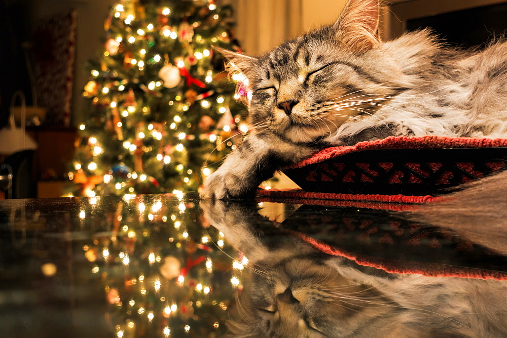 Maine Coon Cat Sleeps In Basket, Reflecting With Christmas Tree Lights On Granite Kitchen Counter, Anchorage, Alaska, United States Of America - 1116-47184