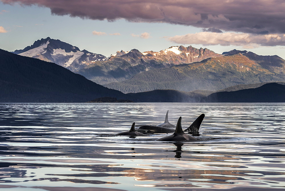 Orca Whales (Orcinus Orca) Surface Near Juneau In Lynn Canal, Inside Passage, With The Coast Range In The Background, Alaska, United States Of America