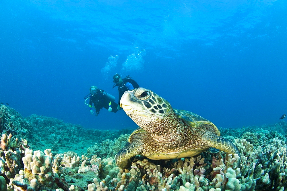 Maui Hawaii Usa; Scuba Divers And A Green Sea Turtle