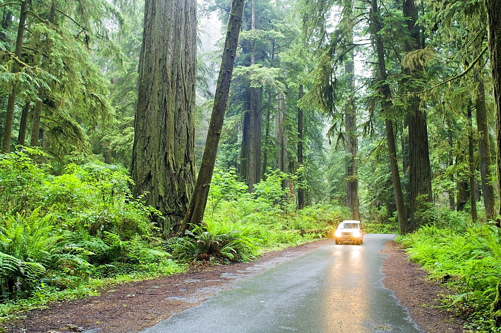 Car Driving, Redwood Forest, California, Usa