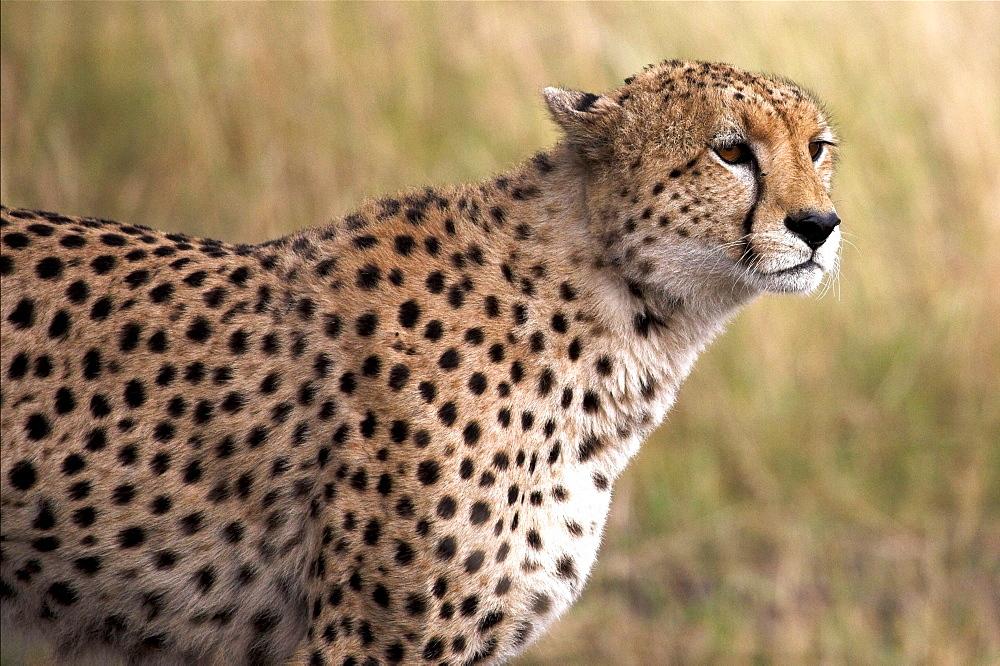 Cheetah (Acinonyx Jubatus), Masai Mara National Reserve, Kenya, Africa; Portrait Of A Cheetah