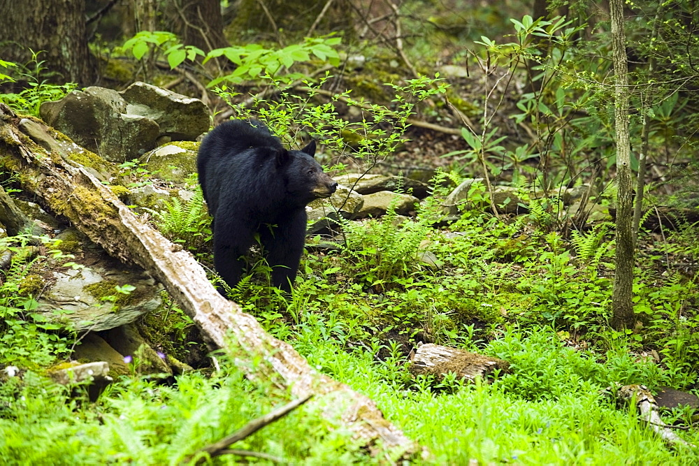 Tennessee, United States Of America; American Black Bear (Ursus Americanus) In The Lush Spring Forest In The Great Smoky Mountains National Park