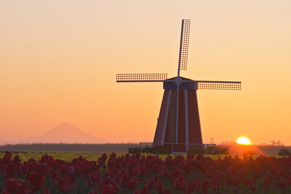 Woodburn, Oregon, United States Of America; Wooden Shoe Tulip Farm At Sunrise With Mount Hood In The Background