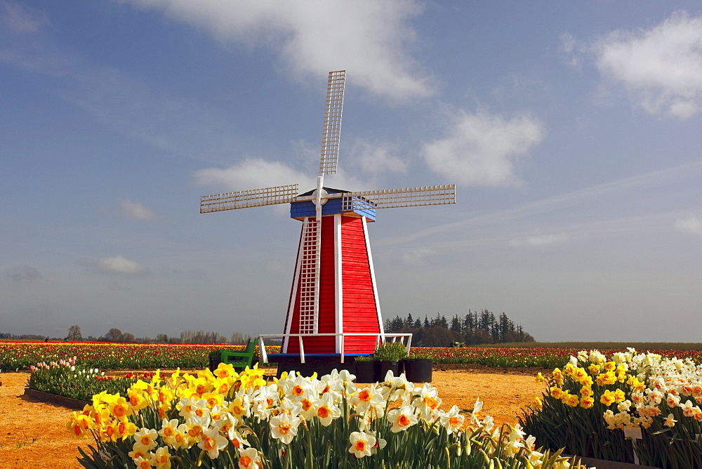 Woodburn, Oregon, United States Of America; A Windmill And Tulip Fields
