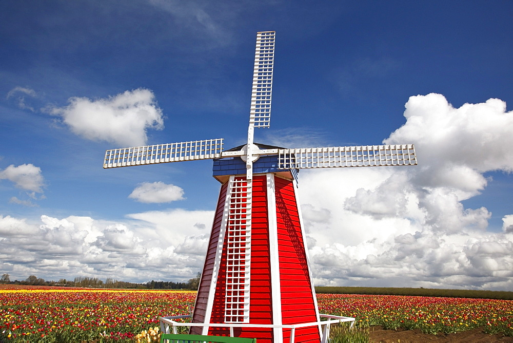 Woodburn, Oregon, United States Of America; Tulip Fields And A Windmill At Wooden Shoe Tulip Farm