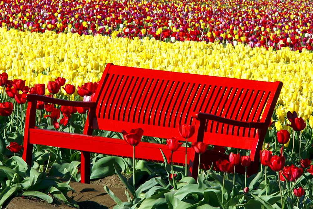Woodburn, Oregon, United States Of America; A Red Bench In A Tulip Field At Wooden Shoe Tulip Farm