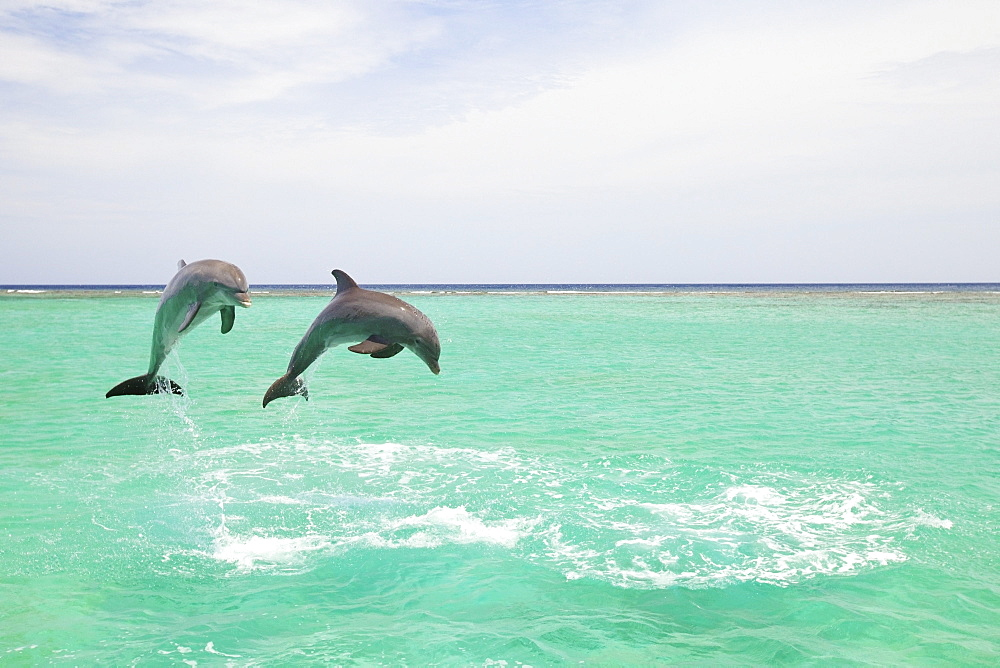 Roatan, Bay Islands, Honduras; Bottlenose Dolphins (Tursiops Truncatus) At Anthony's Key Resort In The Caribbean Sea
