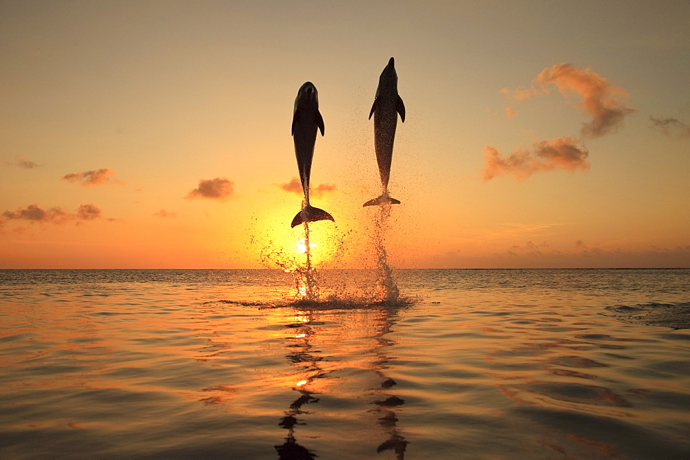 Roatan, Bay Islands, Honduras; Bottlenose Dolphins (Tursiops Truncatus) Jumping In The Caribbean Sea At Sunset