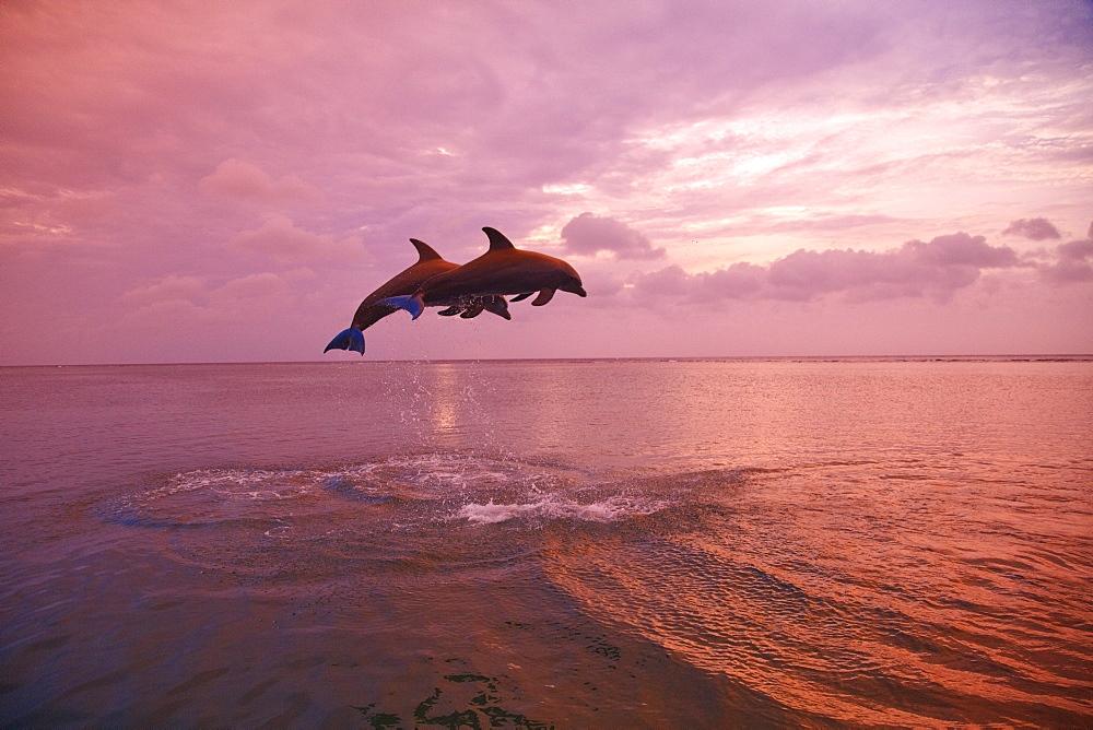 Roatan, Bay Islands, Honduras; Bottlenose Dolphins (Tursiops Truncatus) Jumping Together At Sunset In The Caribbean Sea