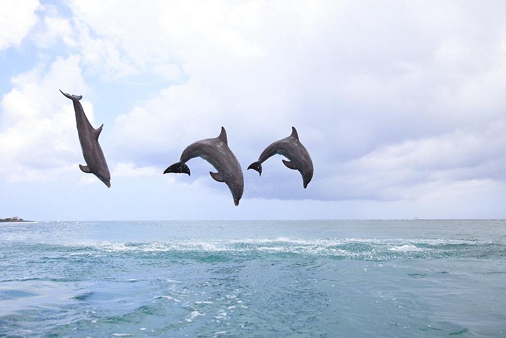 Roatan, Bay Islands, Honduras; Bottlenose Dolphins (Tursiops Truncatus) Jumping Together In The Caribbean Sea