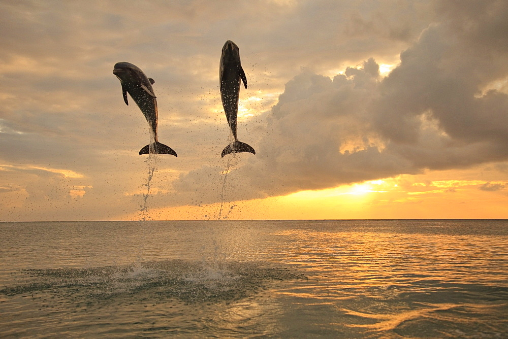 Roatan, Bay Islands, Honduras; Bottlenose Dolphins (Tursiops Truncatus) Jumping Together At Sunset In The Caribbean Sea - 1116-7735