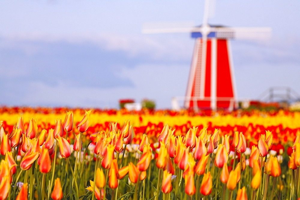 Woodburn, Oregon, United States Of America; A Field Of Tulips And A Windmill At Wooden Shoe Tulip Farm