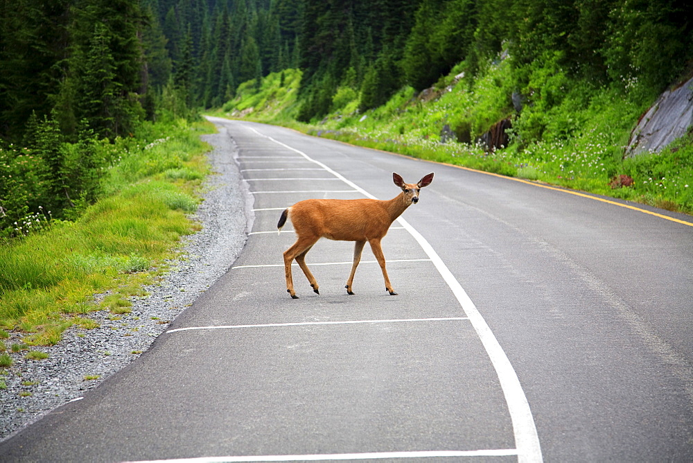 Washington, United States Of America; A Deer On The Road In Mt. Rainier National Park