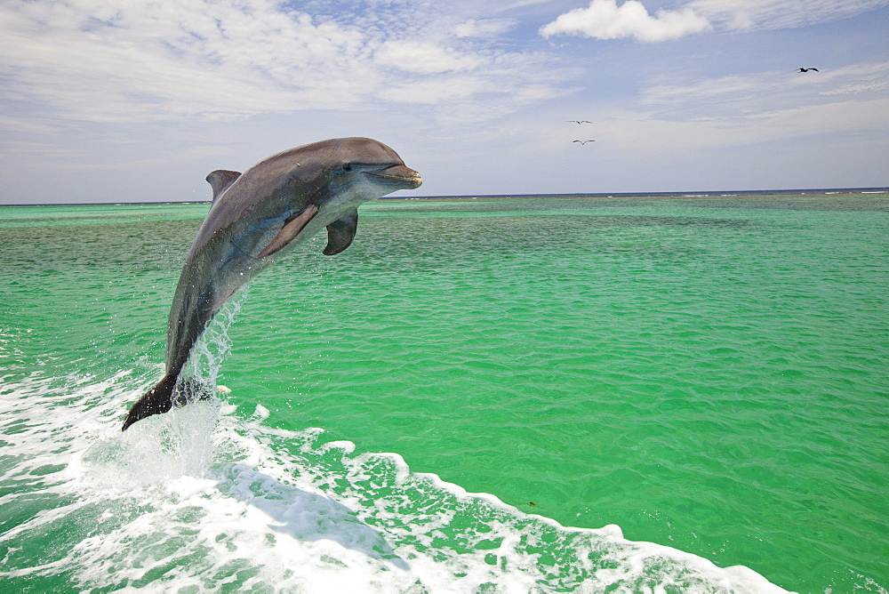 Roatan, Bay Islands, Honduras; A Bottlenose Dolphin (Tursiops Truncatus) Jumping Out Of The Water At Anthony's Key Resort