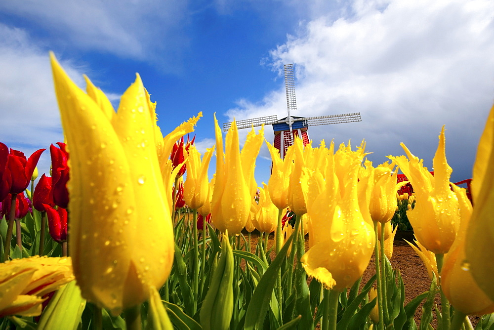 Tulips In A Field And A Windmill At Wooden Shoe Tulip Farm; Woodburn, Oregon, USA