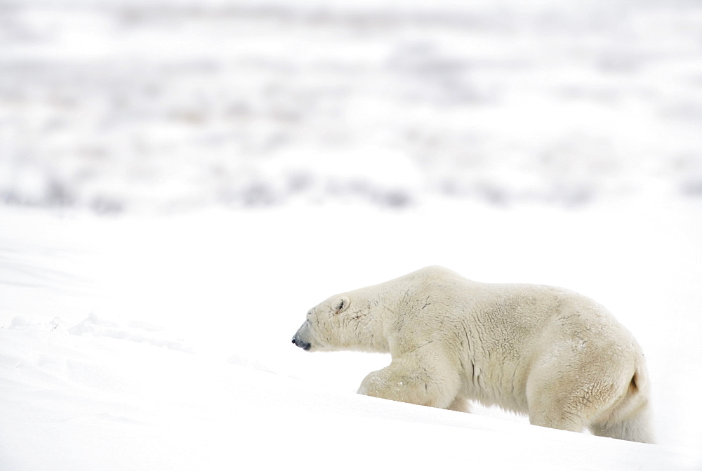A Polar Bear (Ursus Maritimus) Journeys Through Heavy Snow To Search For Food; Churchill, Manitoba, Canada