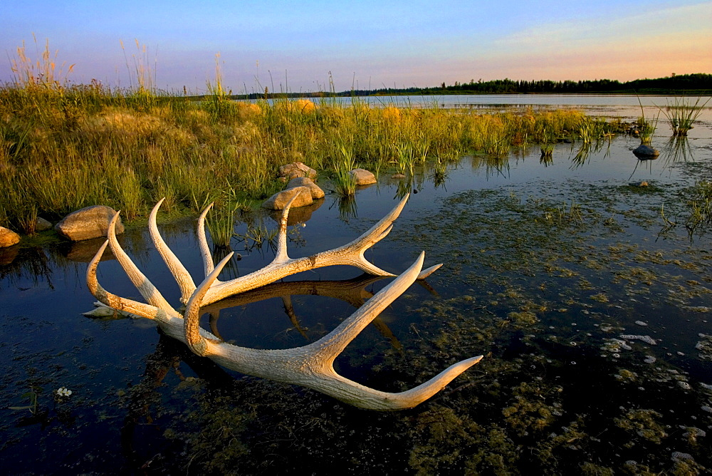 An Elk's Horns Lay In The Water At Astotin Lake In Elk Island National Park; Alberta, Canada