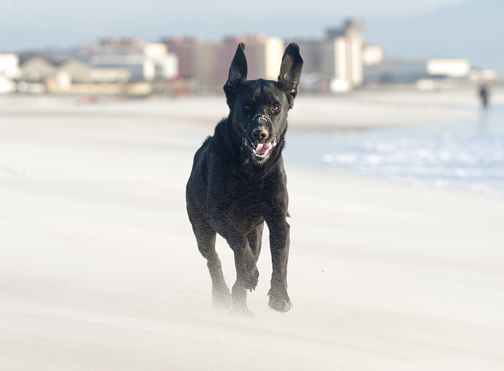 Black Labrador Dog Running On Beach; Los Lances Beach, Tarifa, Cadiz, Andalucia, Spain
