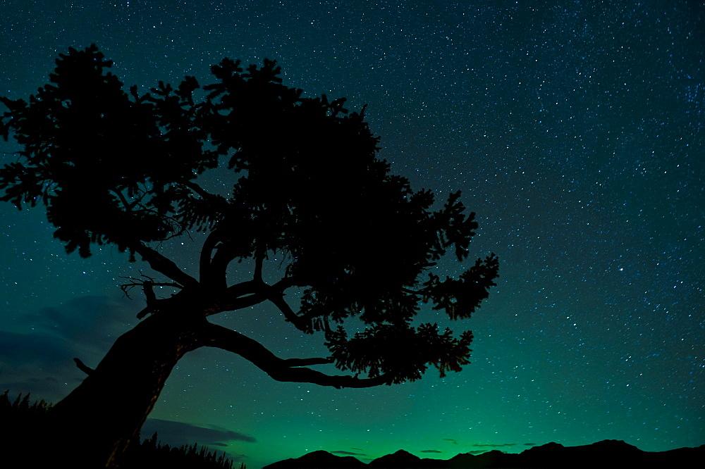 Silhouette Of Tree Against Northern Lights In Jasper National Park; Jasper, Alberta, Canada