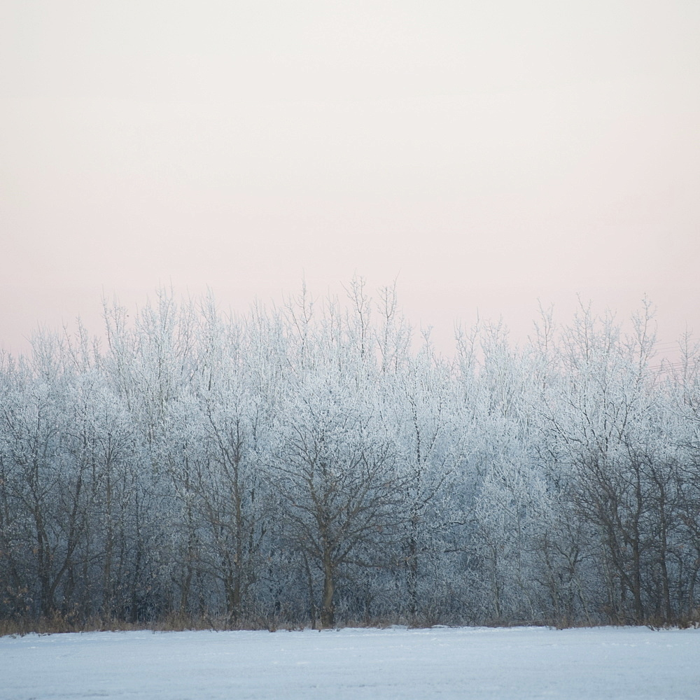 Winnipeg, Manitoba, Canada, Snow Covered Trees In Winter