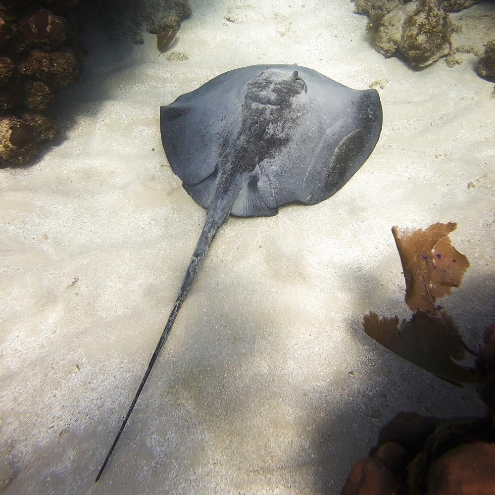Caribbean Whiptail Stingray (Himantura Schmardae), Utila, Bay Islands, Honduras - 1116-42624