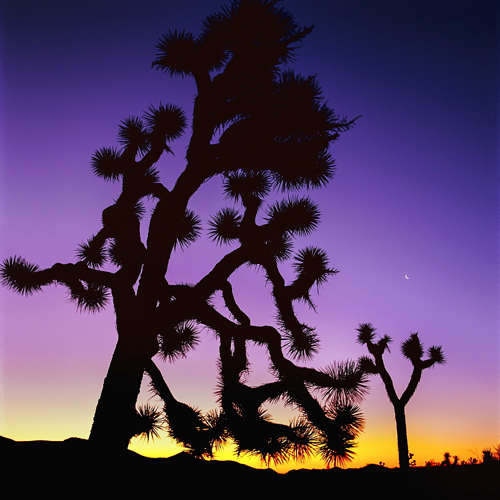 Joshua Trees At Dusk, Joshua Tree National Park, California, United States Of America