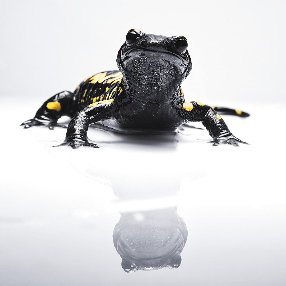 Salamander (Caudata) With It's Reflection On A White Surface, Tarifa, Cadiz, Andalusia, Spain - 1116-43383