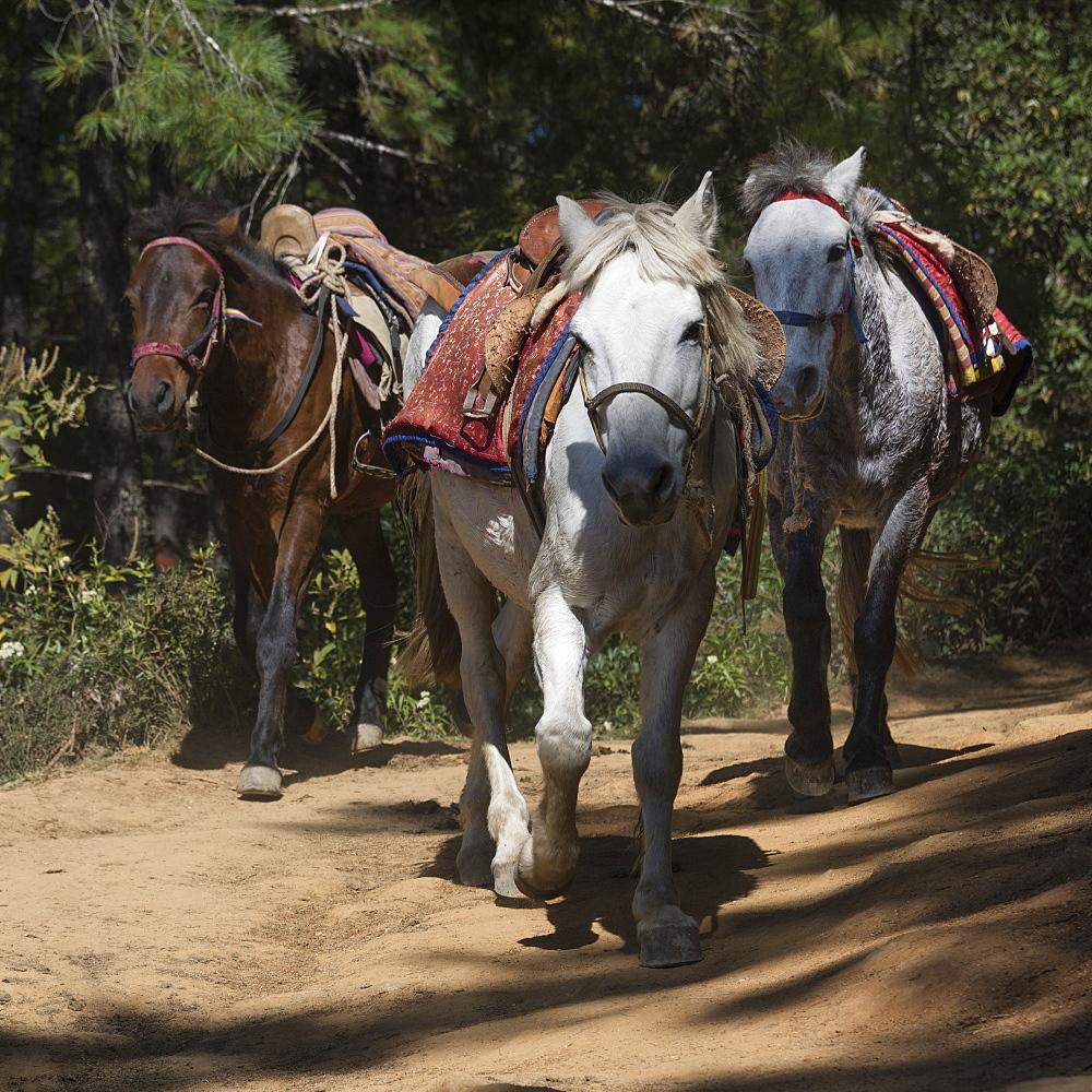 Horses On The Taktsang Trail, Paro, Bhutan
