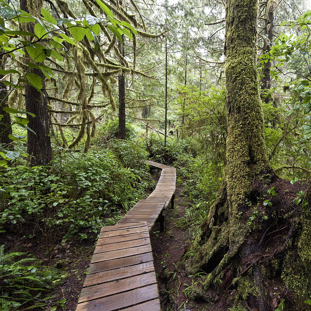 Winding Boardwalk Through Forest, British Columbia, Canada
