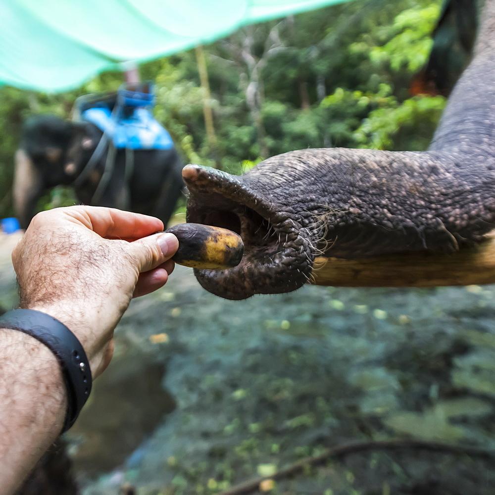 A Man's Hand Feeding An Elephant, Na Muang Safari Park, Koh Samu, Chang Wat Surat Thani, Thailand