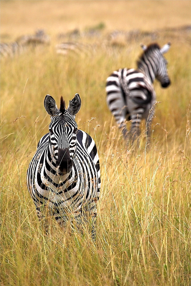 Zebras In Tall Grass