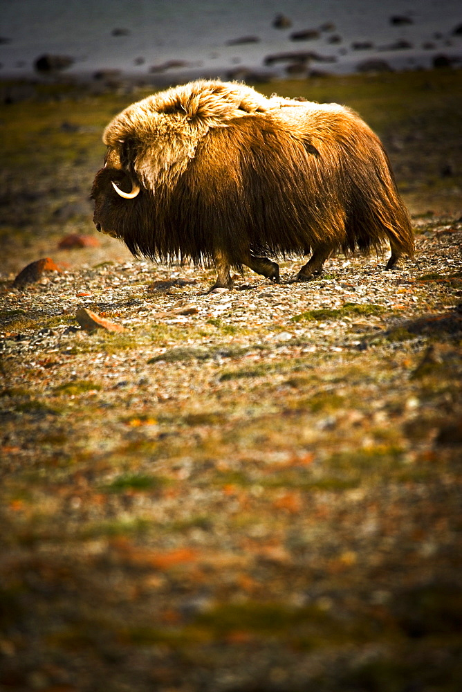 Muskox (Ovibos Moschatus)In The Northwest Territories