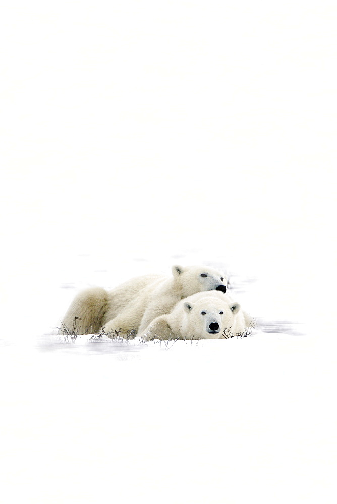 Two Polar Bears Laying Together