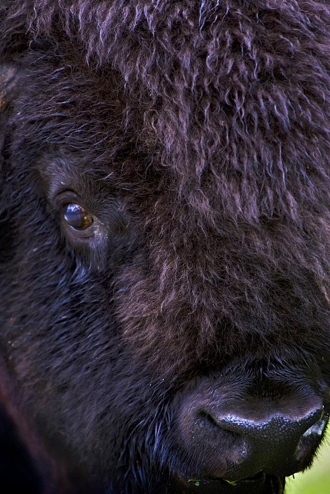 Bison, Close Up