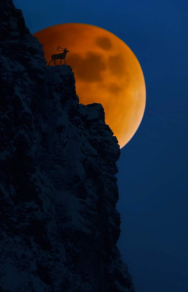 Elk On Cliff With Full Moon Behind