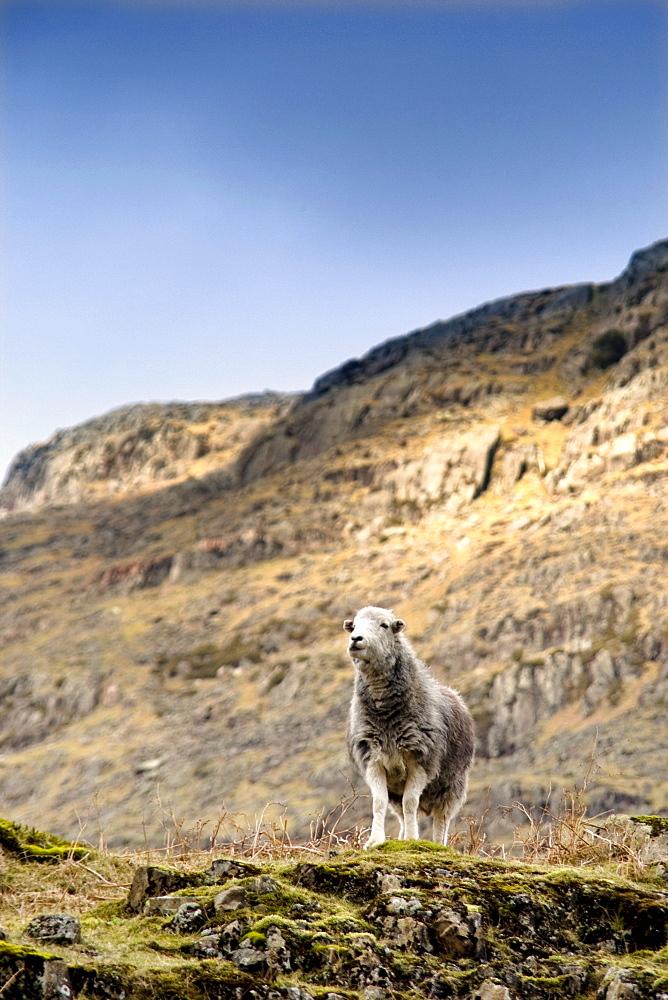 Herdwick Sheep On Cliff, Lake District, England, Europe