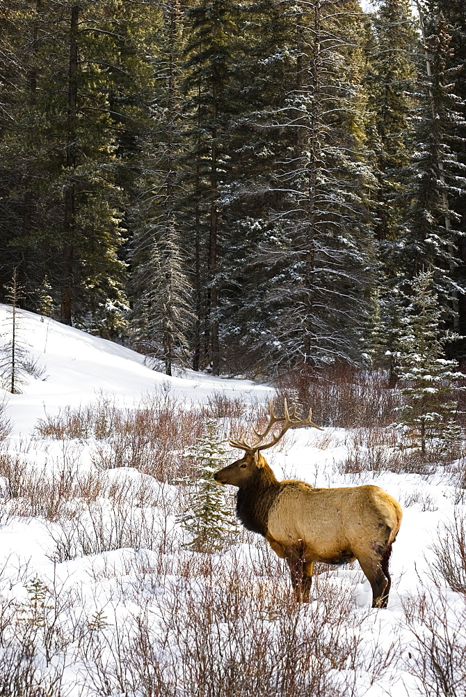 Elk In Winter Forest, Banff National Park, Alberta, Canada