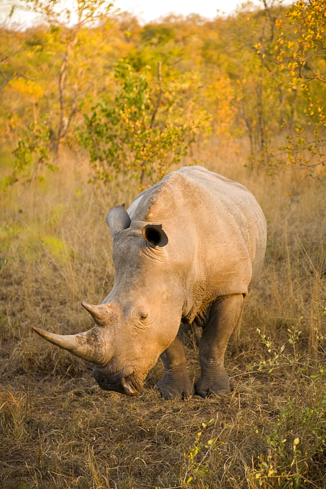 White Rhinoceros (Ceratotherium Simum), Arathusa Safari Lodge, Sabi Sand Reserve, Mpumalanga, South Africa, Africa