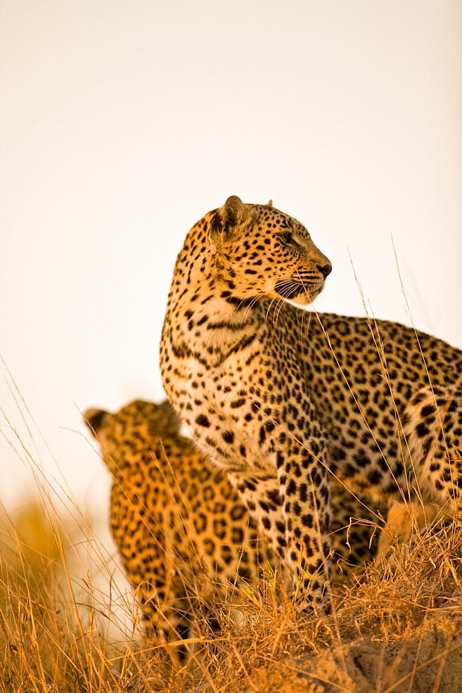 Leopard (Panthera Pardus), Arathusa Safari Lodge, Sabi Sand Reserve, Mpumalanga, South Africa, Africa