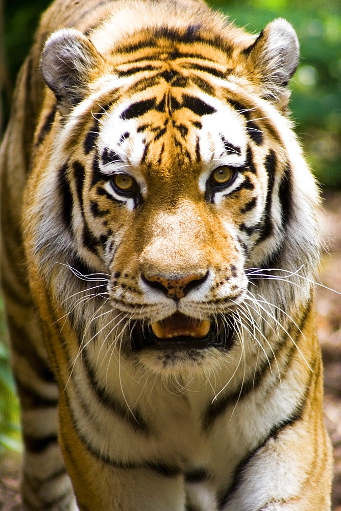 Tiger, Indianapolis Zoo, Indianapolis, Usa